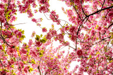 tree-spring-park-nyc-flower-flowering-1450607-pxhere.com